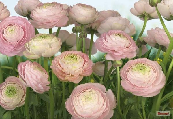 Fotótapéta Gentle Rose 8-894