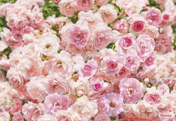 Fotótapéta Rosa 8-937