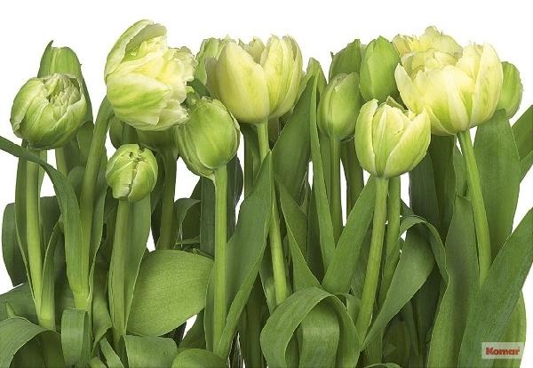 Fotótapéta Tulips 8-900